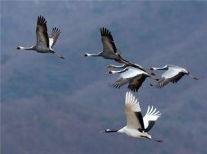 white cranes in flight